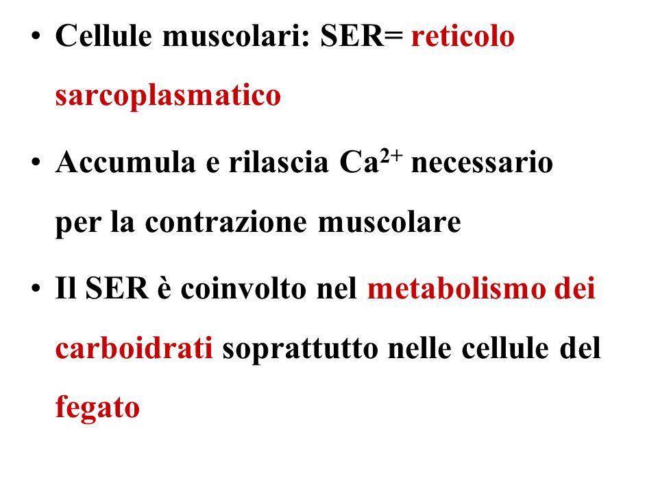 Cellule muscolari: SER= reticolo sarcoplasmatico