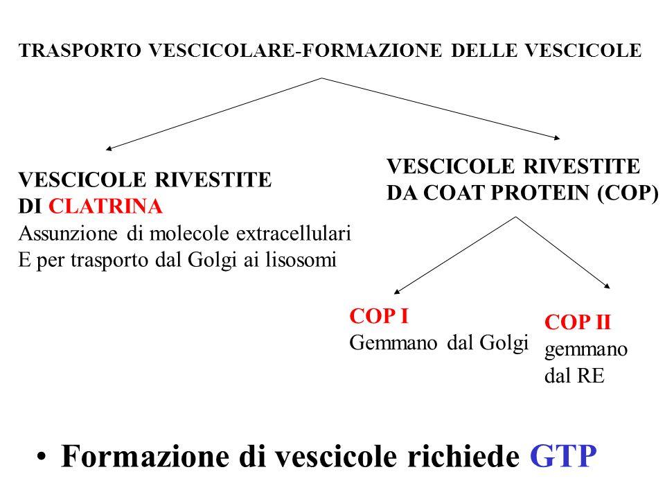 Formazione di vescicole richiede GTP