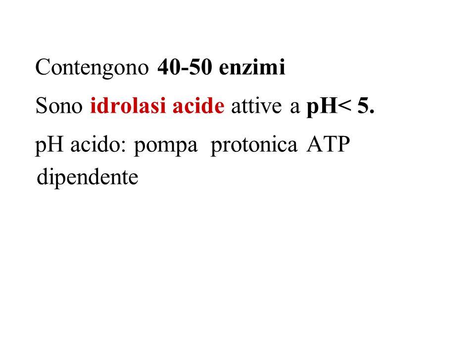 Contengono 40-50 enzimi Sono idrolasi acide attive a pH< 5.