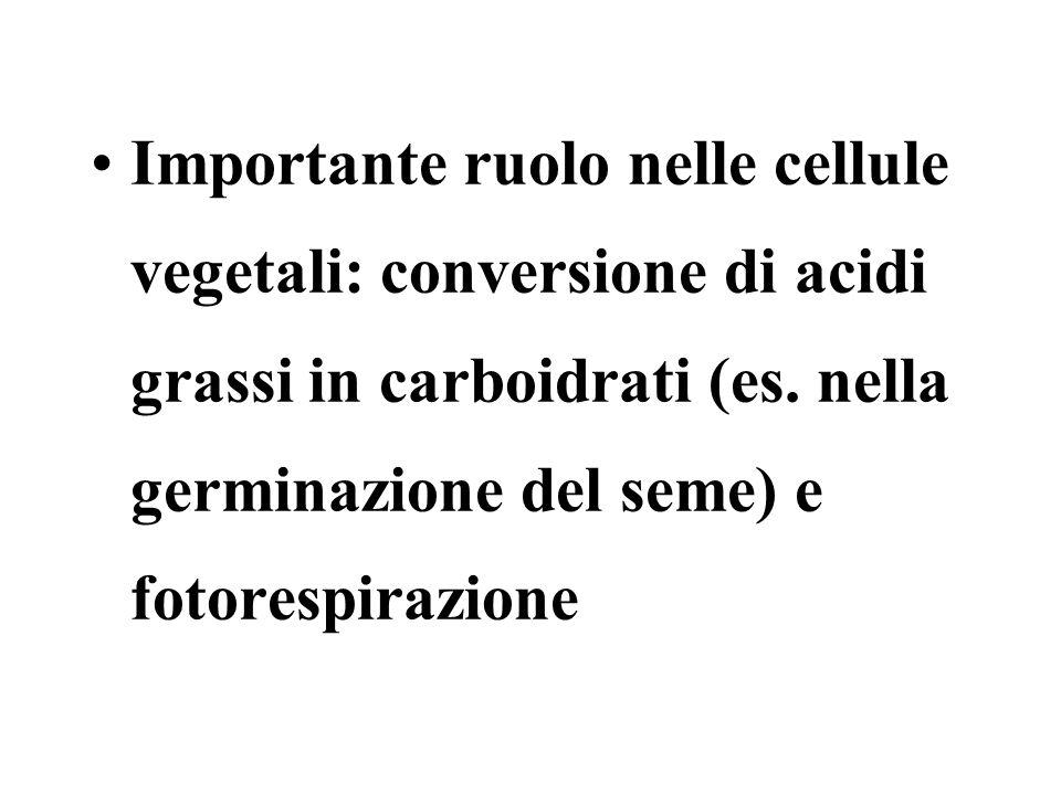 Importante ruolo nelle cellule vegetali: conversione di acidi grassi in carboidrati (es.