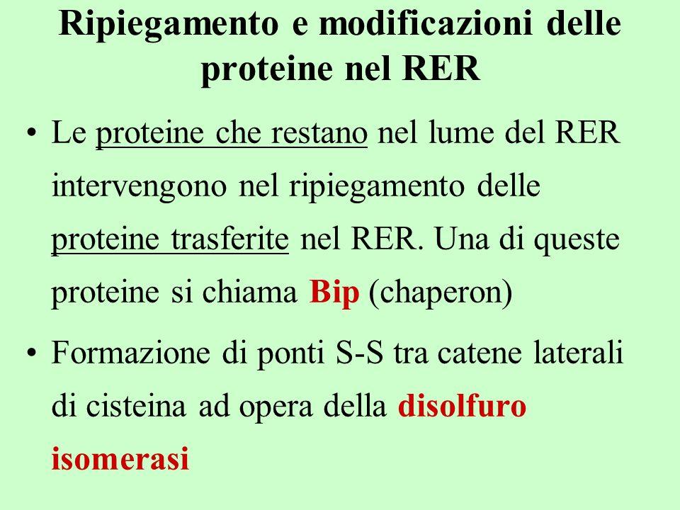 Ripiegamento e modificazioni delle proteine nel RER