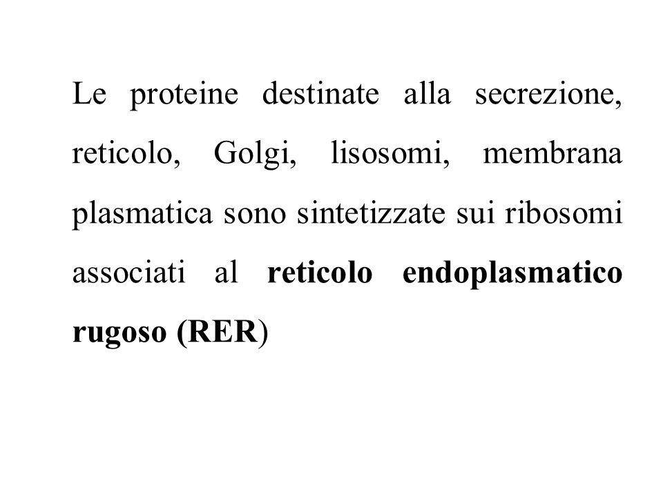 Le proteine destinate alla secrezione, reticolo, Golgi, lisosomi, membrana plasmatica sono sintetizzate sui ribosomi associati al reticolo endoplasmatico rugoso (RER)