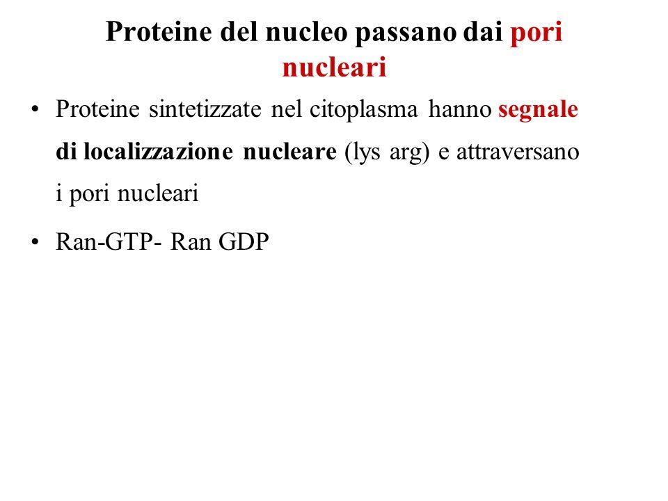 Proteine del nucleo passano dai pori nucleari