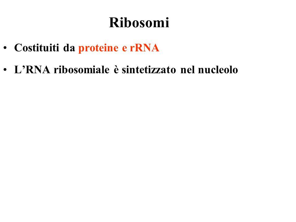Ribosomi Costituiti da proteine e rRNA