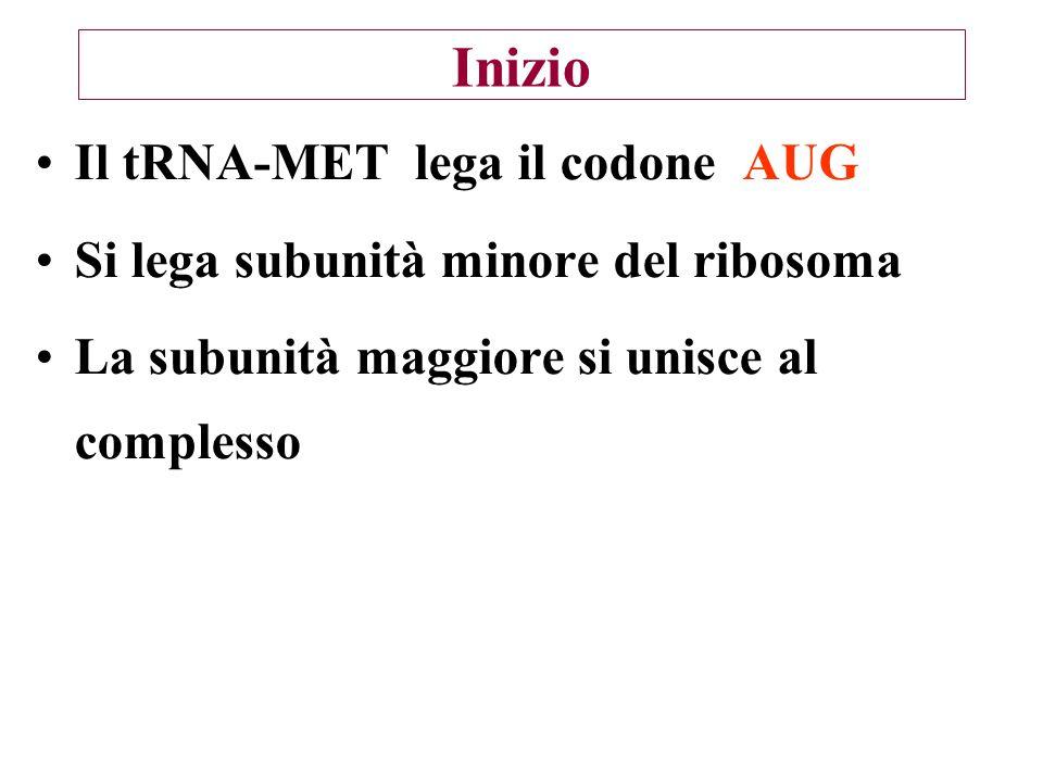 Inizio Il tRNA-MET lega il codone AUG