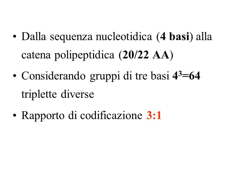 Dalla sequenza nucleotidica (4 basi) alla catena polipeptidica (20/22 AA)