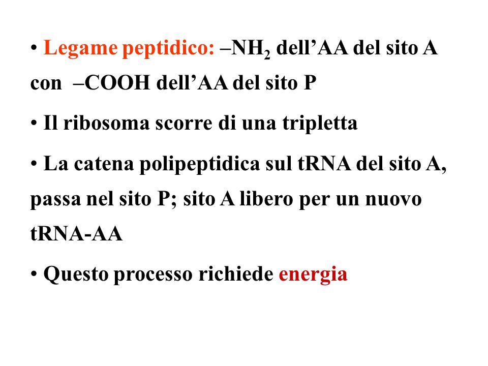 Legame peptidico: –NH2 dell'AA del sito A con –COOH dell'AA del sito P