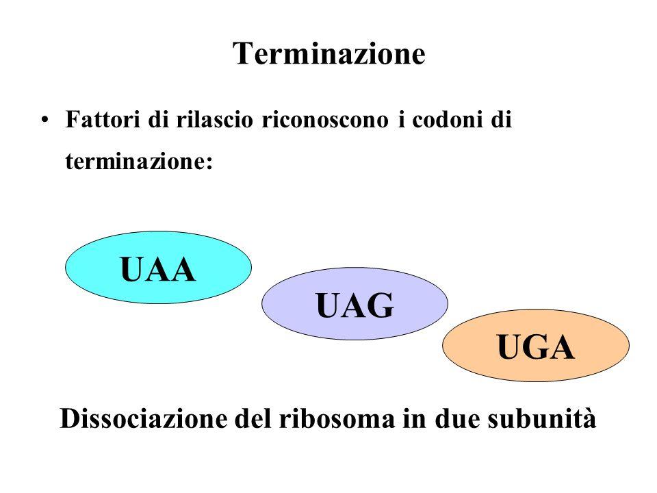 UAA UAG UGA Terminazione Dissociazione del ribosoma in due subunità