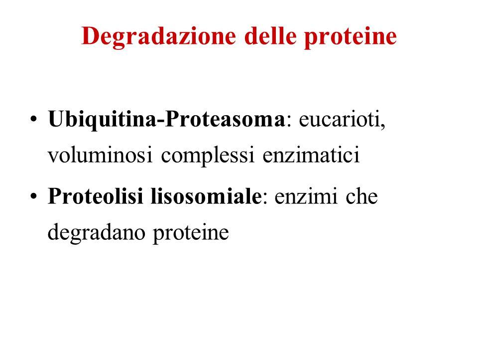 Degradazione delle proteine