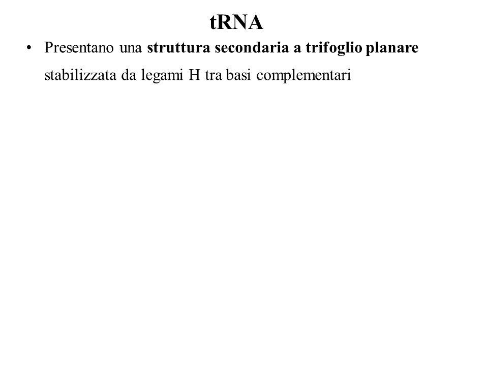 tRNA Presentano una struttura secondaria a trifoglio planare stabilizzata da legami H tra basi complementari.