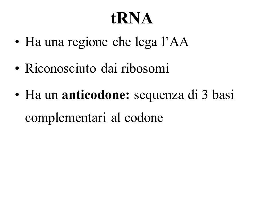 tRNA Ha una regione che lega l'AA Riconosciuto dai ribosomi
