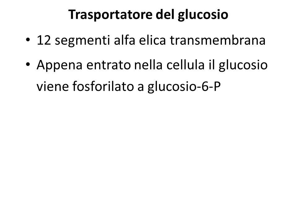 Trasportatore del glucosio