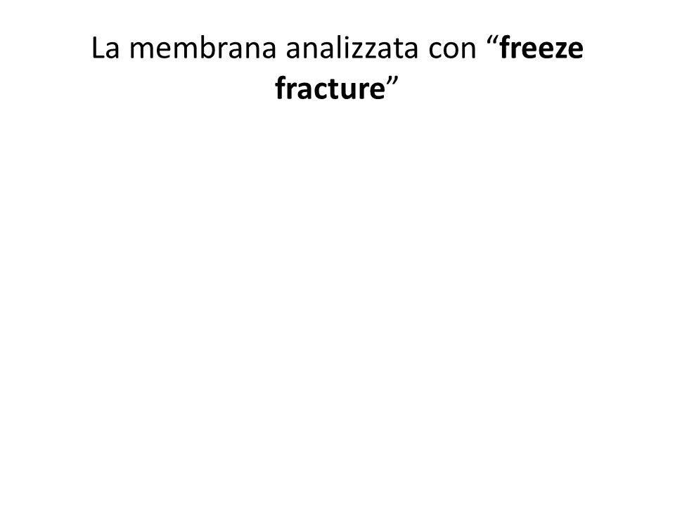 La membrana analizzata con freeze fracture