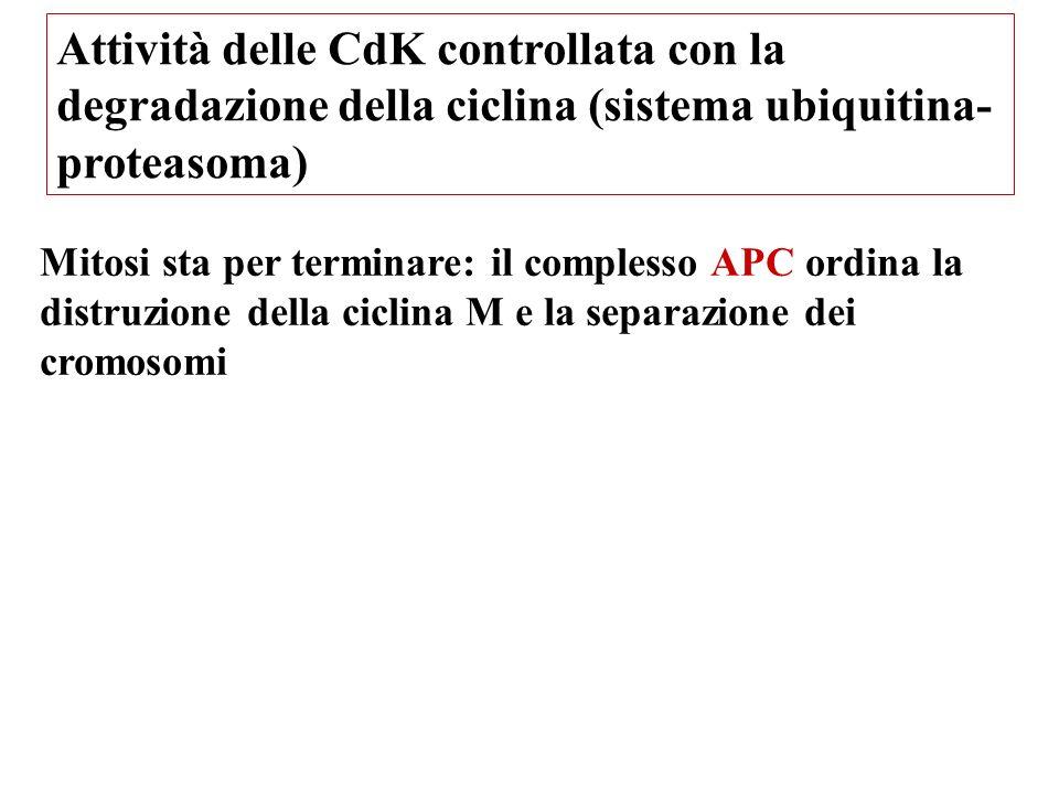 Attività delle CdK controllata con la degradazione della ciclina (sistema ubiquitina-proteasoma)