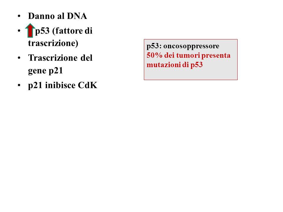 p53 (fattore di trascrizione) Trascrizione del gene p21
