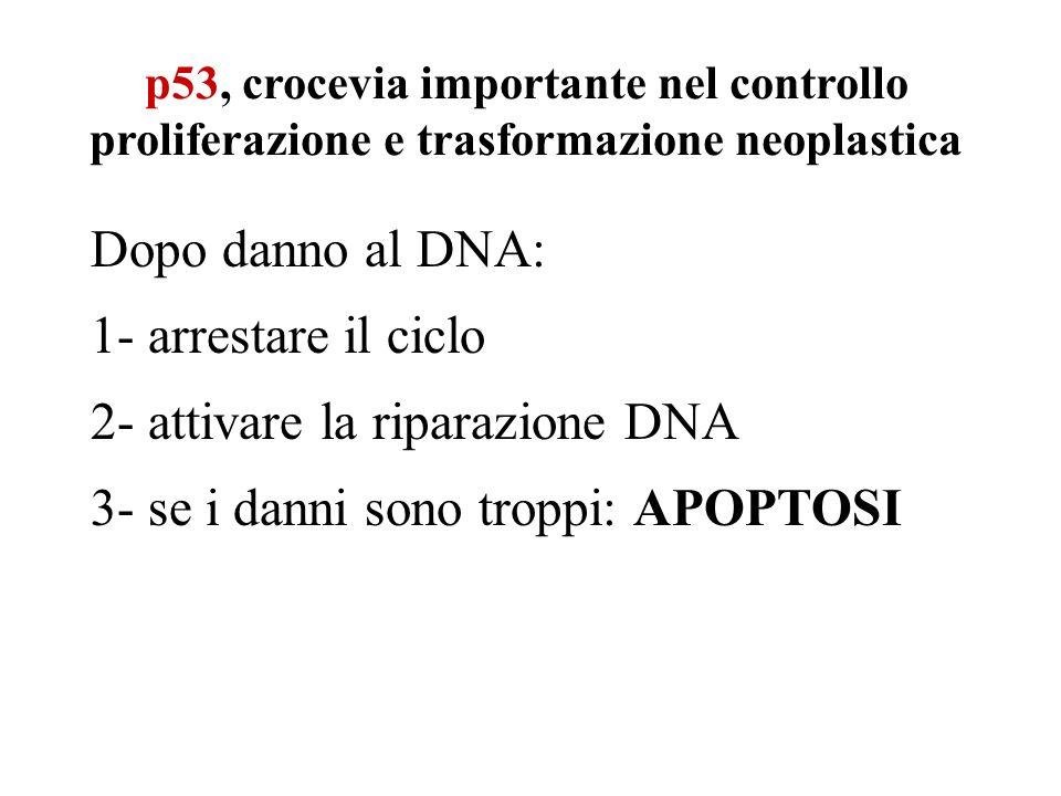 2- attivare la riparazione DNA 3- se i danni sono troppi: APOPTOSI