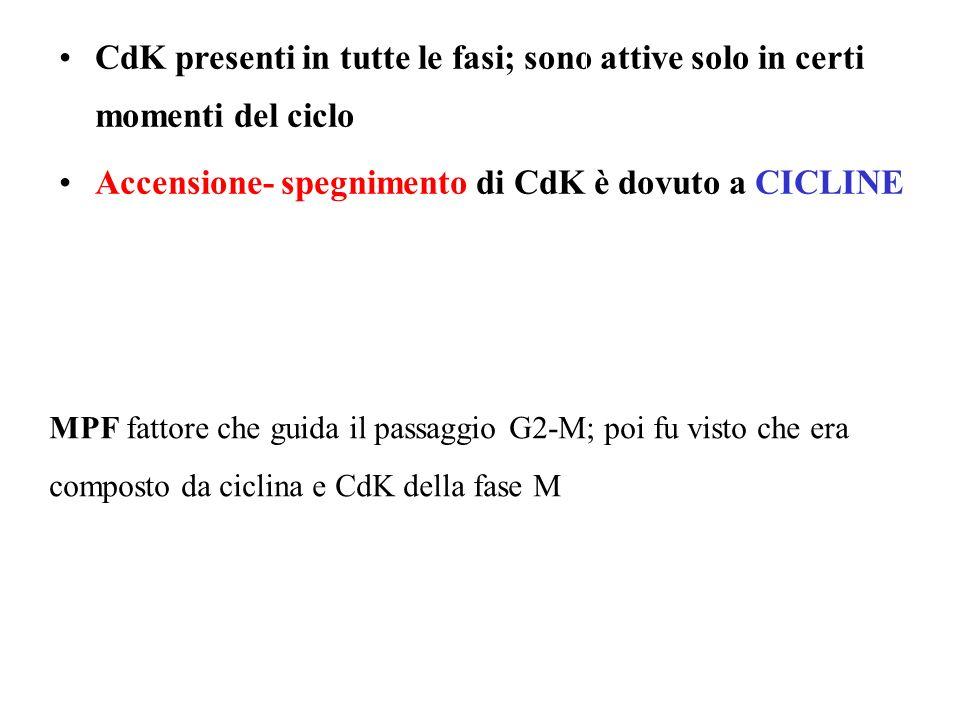 Accensione- spegnimento di CdK è dovuto a CICLINE
