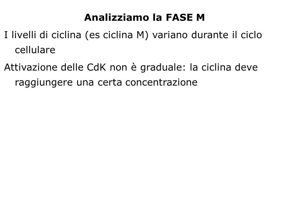 Analizziamo la FASE M I livelli di ciclina (es ciclina M) variano durante il ciclo cellulare.