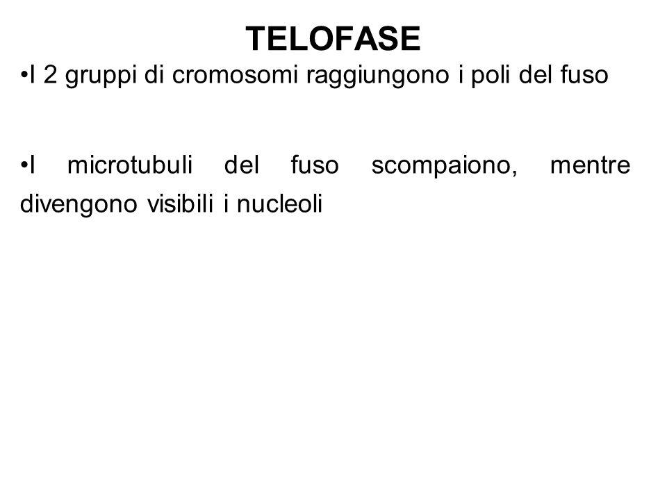 TELOFASE I 2 gruppi di cromosomi raggiungono i poli del fuso