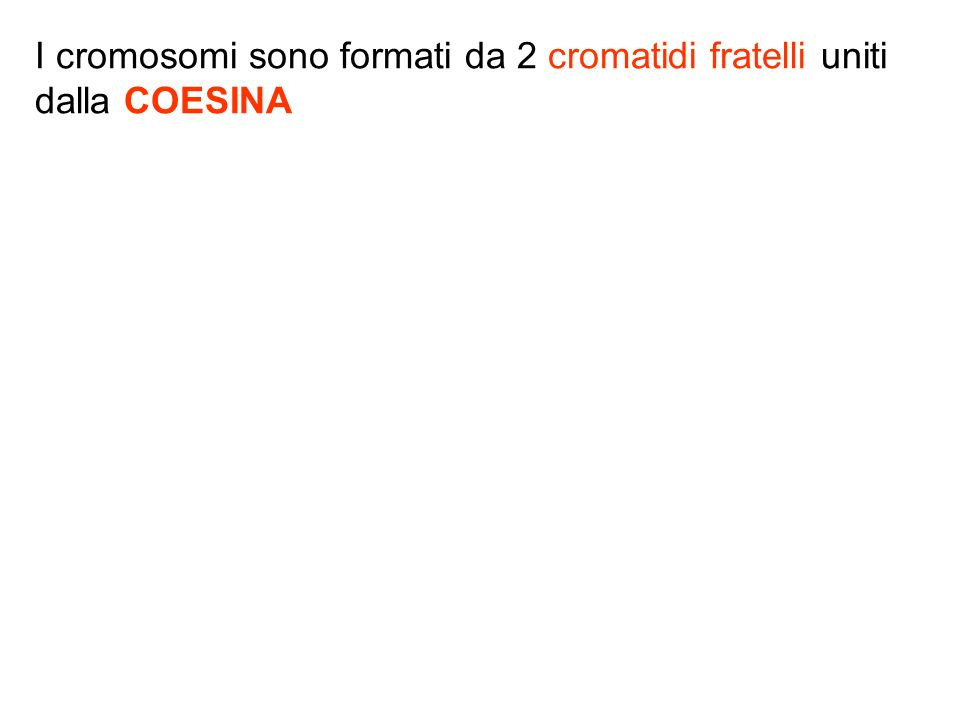 I cromosomi sono formati da 2 cromatidi fratelli uniti dalla COESINA
