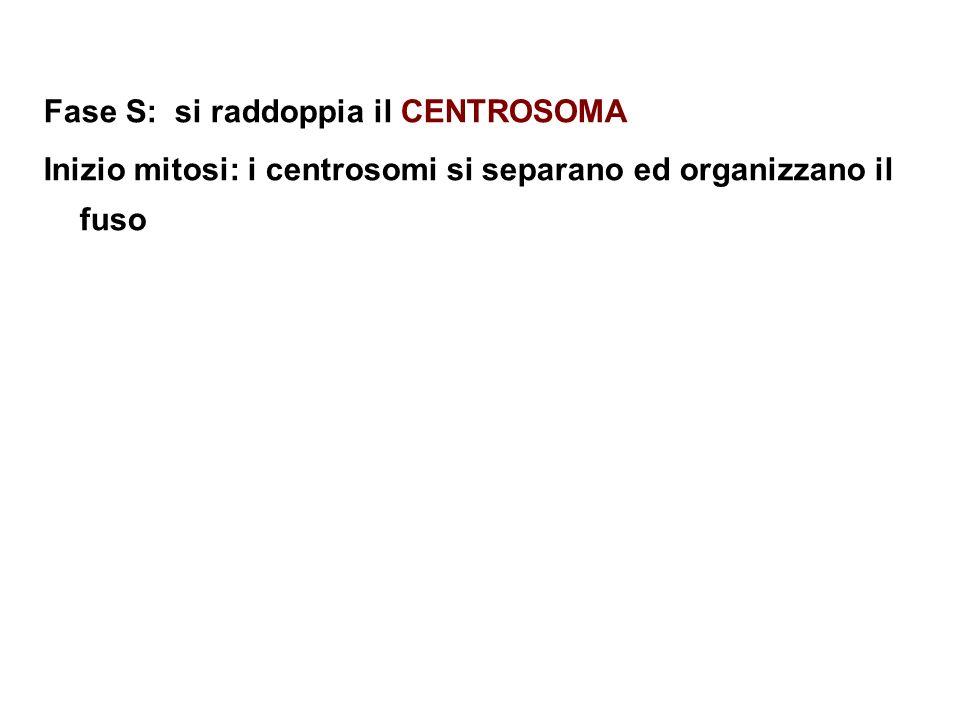 Fase S: si raddoppia il CENTROSOMA