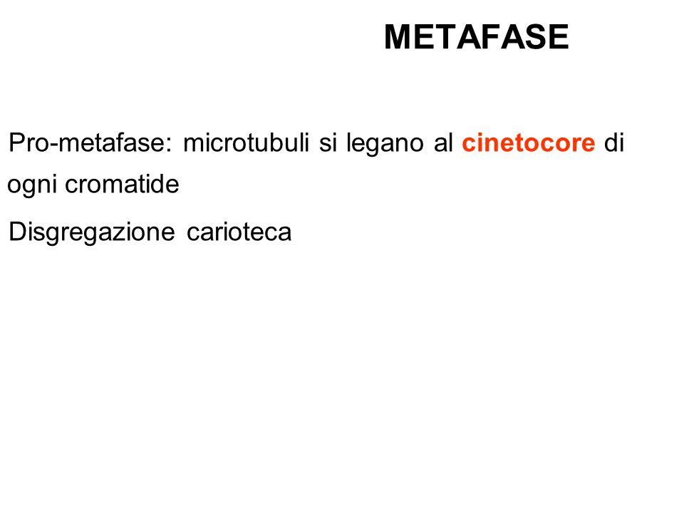 METAFASE Pro-metafase: microtubuli si legano al cinetocore di ogni cromatide.
