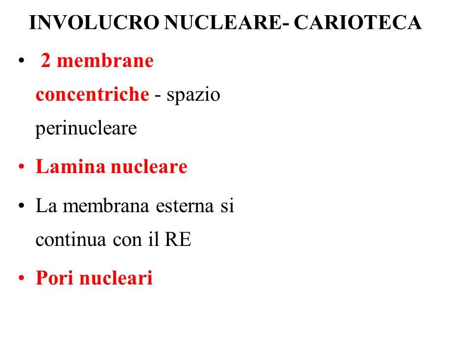 INVOLUCRO NUCLEARE- CARIOTECA