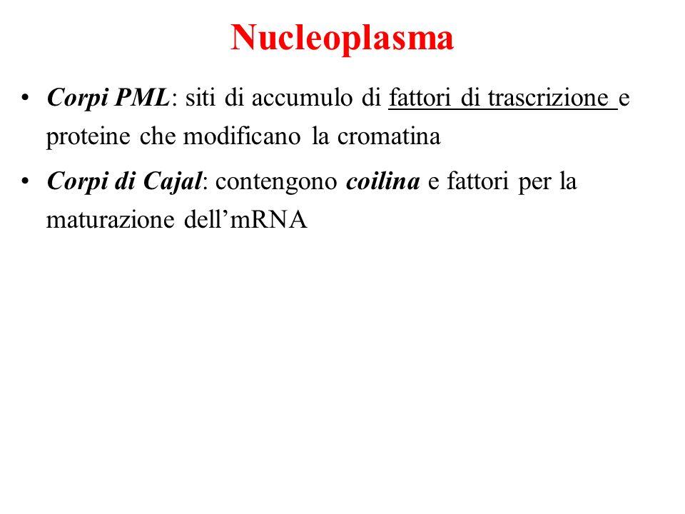 Nucleoplasma Corpi PML: siti di accumulo di fattori di trascrizione e proteine che modificano la cromatina.