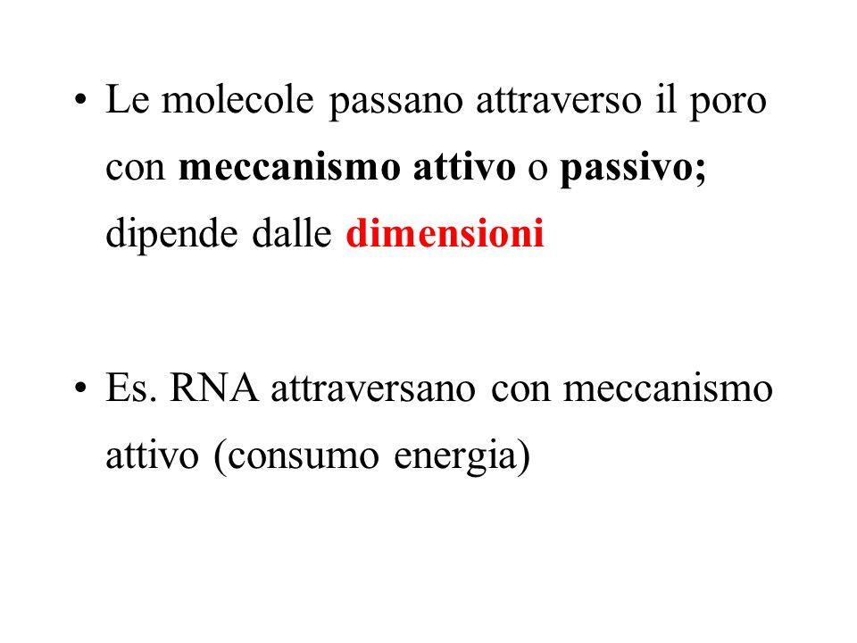 Le molecole passano attraverso il poro con meccanismo attivo o passivo; dipende dalle dimensioni