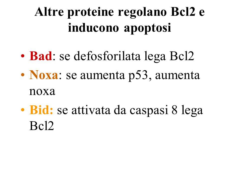 Altre proteine regolano Bcl2 e inducono apoptosi