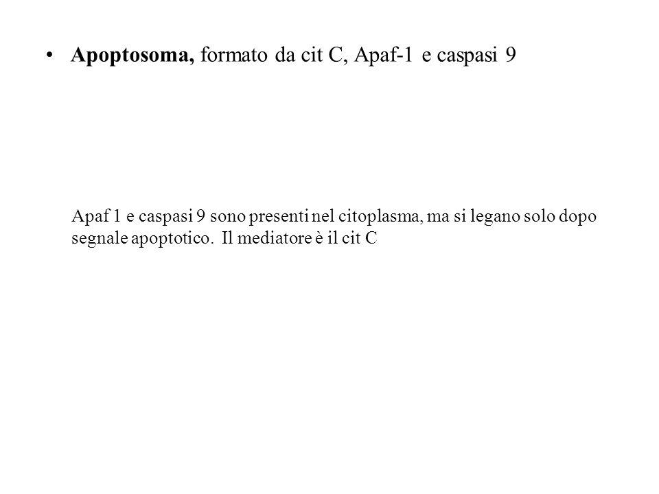 Apoptosoma, formato da cit C, Apaf-1 e caspasi 9