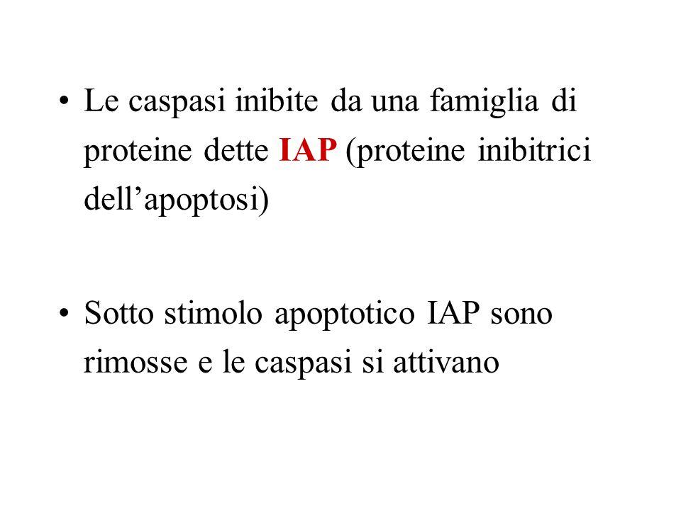 Le caspasi inibite da una famiglia di proteine dette IAP (proteine inibitrici dell'apoptosi)