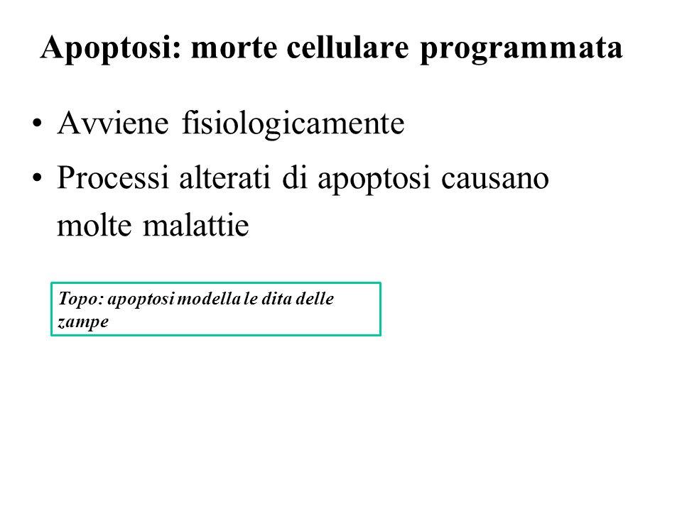 Apoptosi: morte cellulare programmata