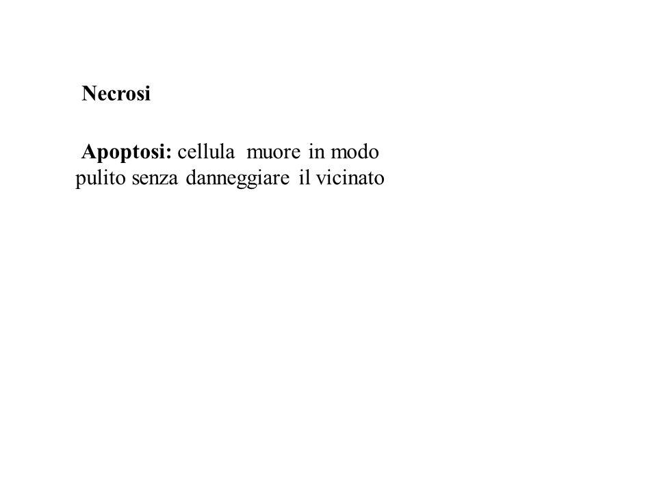 Apoptosi: cellula muore in modo pulito senza danneggiare il vicinato
