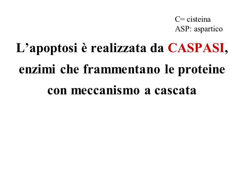 C= cisteina ASP: aspartico.
