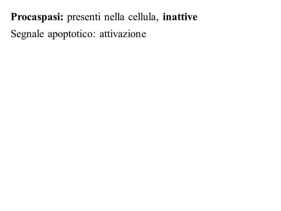 Procaspasi: presenti nella cellula, inattive