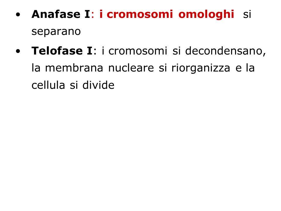 Anafase I: i cromosomi omologhi si separano