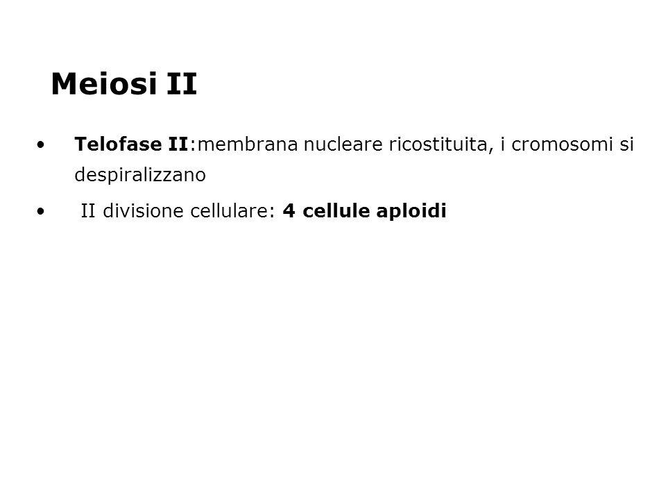 Meiosi II Telofase II:membrana nucleare ricostituita, i cromosomi si despiralizzano.