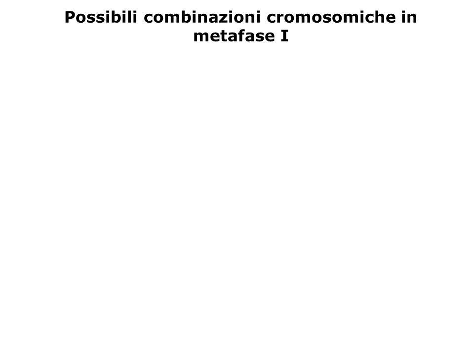 Possibili combinazioni cromosomiche in metafase I