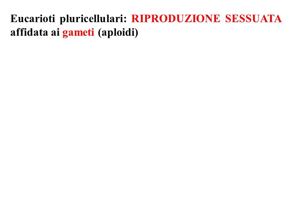 Eucarioti pluricellulari: RIPRODUZIONE SESSUATA affidata ai gameti (aploidi)