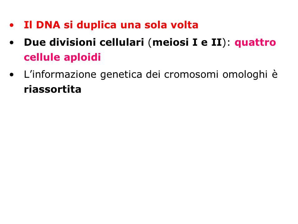 Il DNA si duplica una sola volta