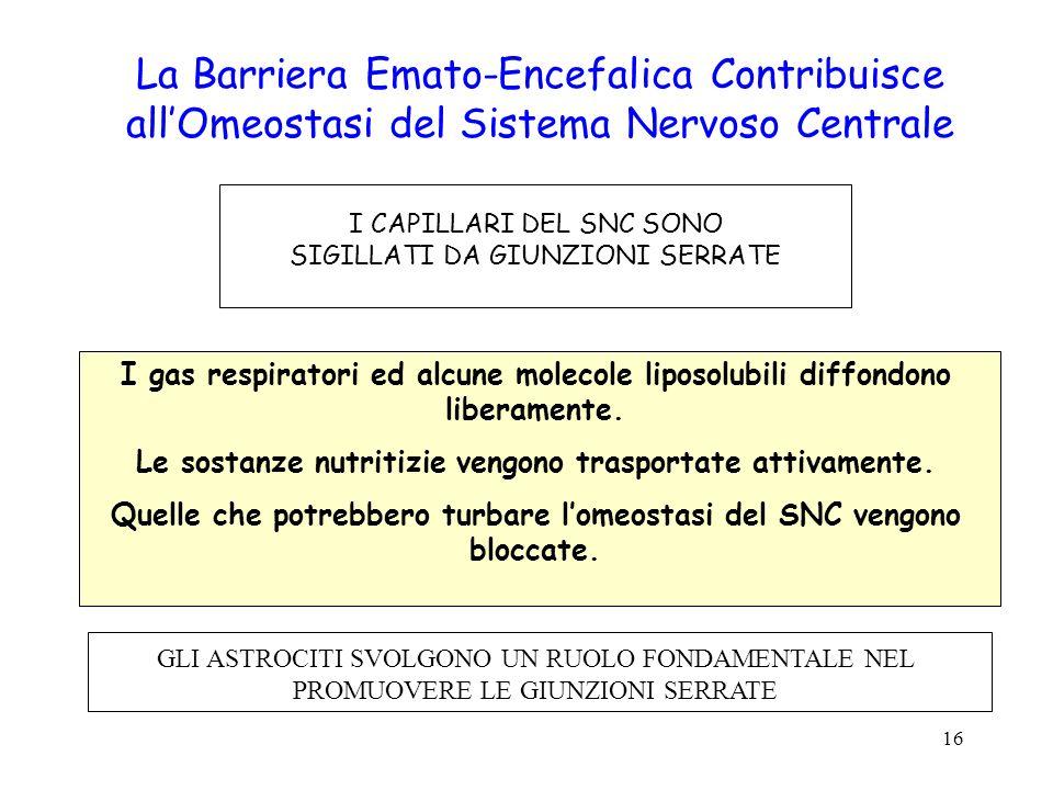 La Barriera Emato-Encefalica Contribuisce all'Omeostasi del Sistema Nervoso Centrale