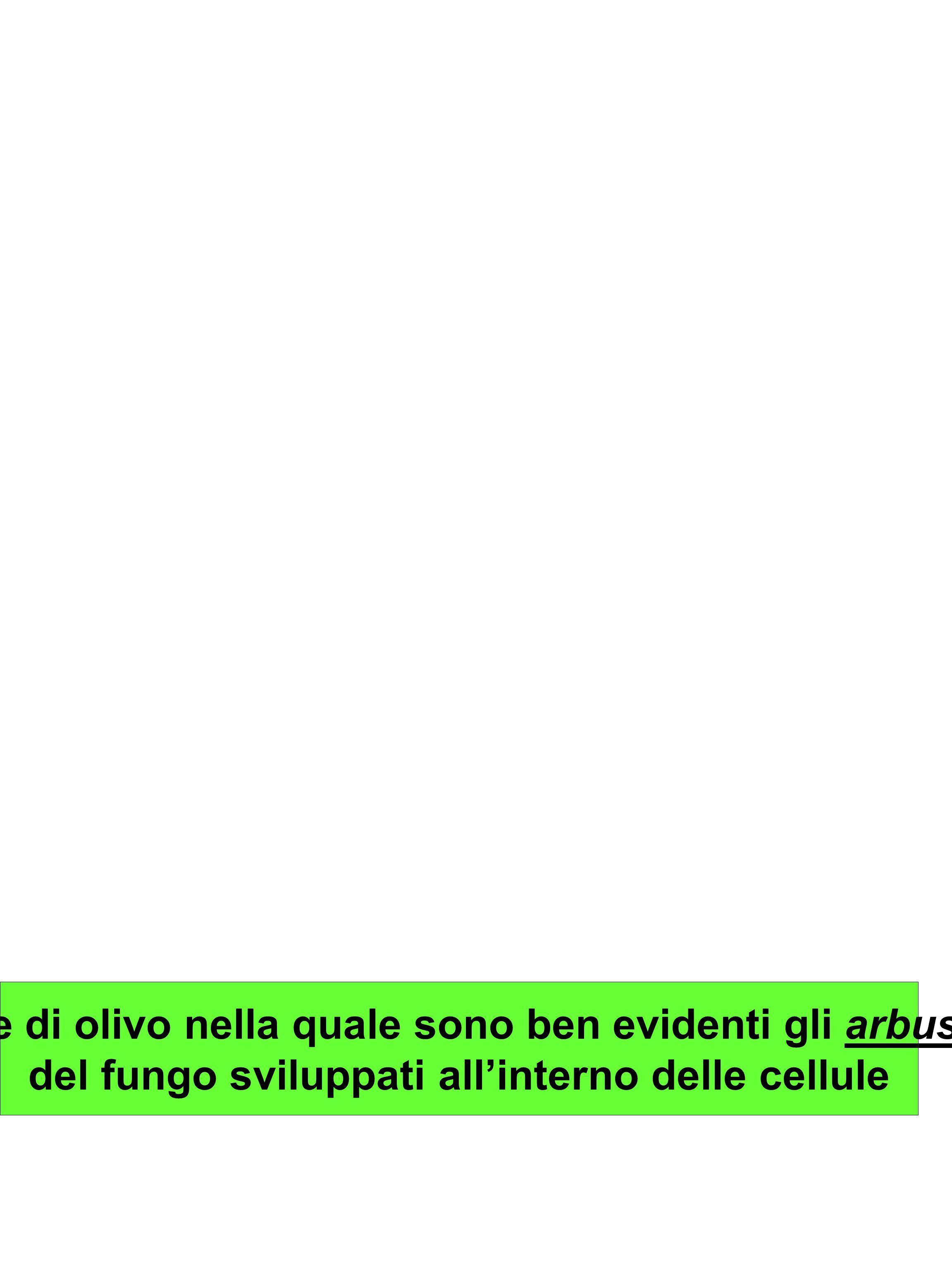 Radice di olivo nella quale sono ben evidenti gli arbuscoli