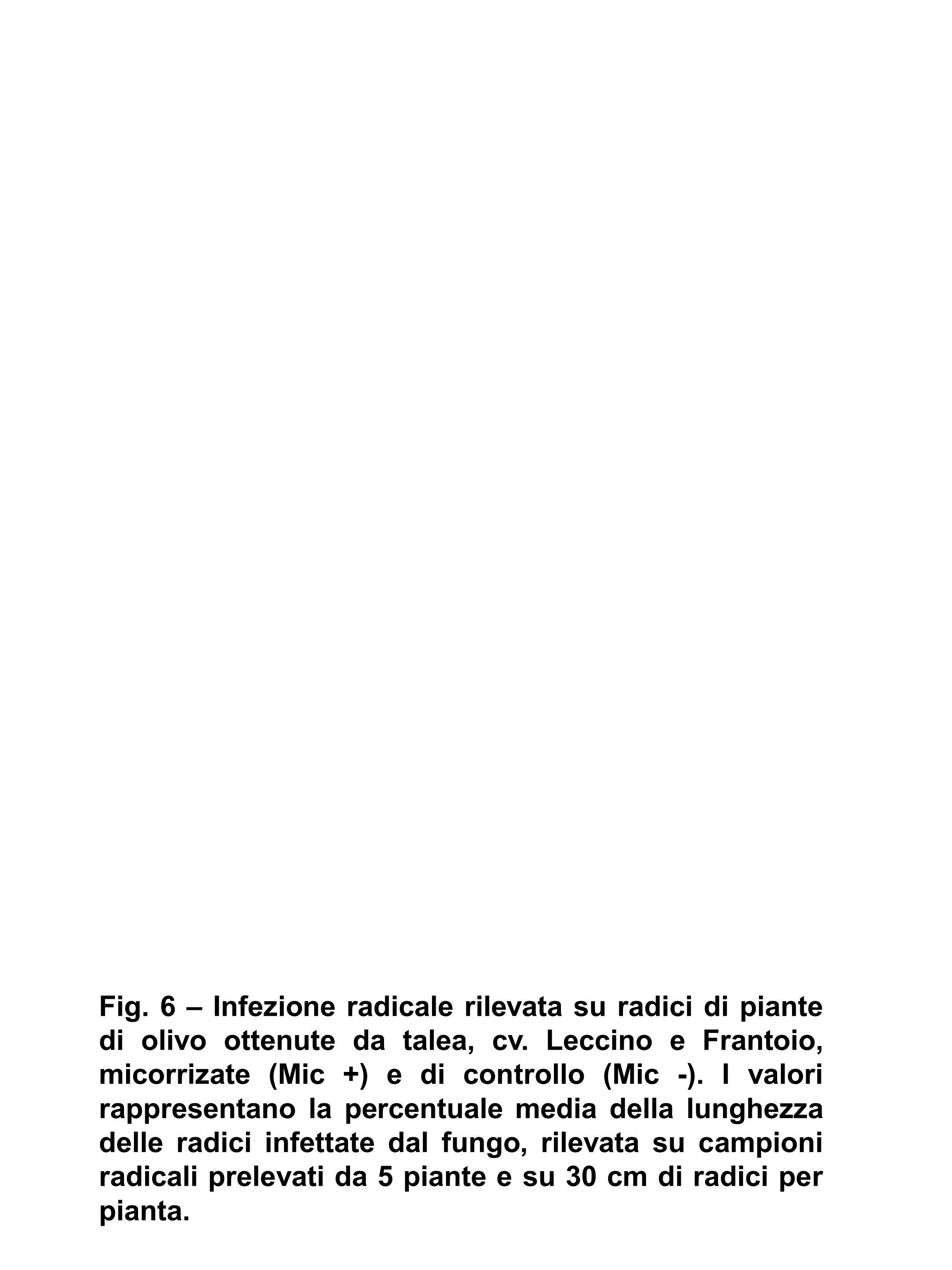 Fig. 6 – Infezione radicale rilevata su radici di piante di olivo ottenute da talea, cv.