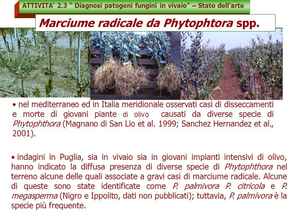 Marciume radicale da Phytophtora spp.