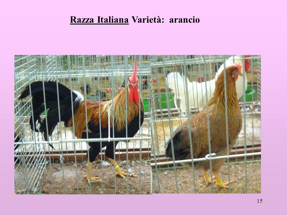 Razza Italiana Varietà: arancio