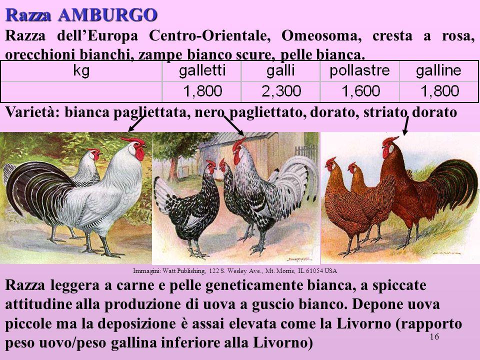 Razza AMBURGO Razza dell'Europa Centro-Orientale, Omeosoma, cresta a rosa, orecchioni bianchi, zampe bianco scure, pelle bianca.