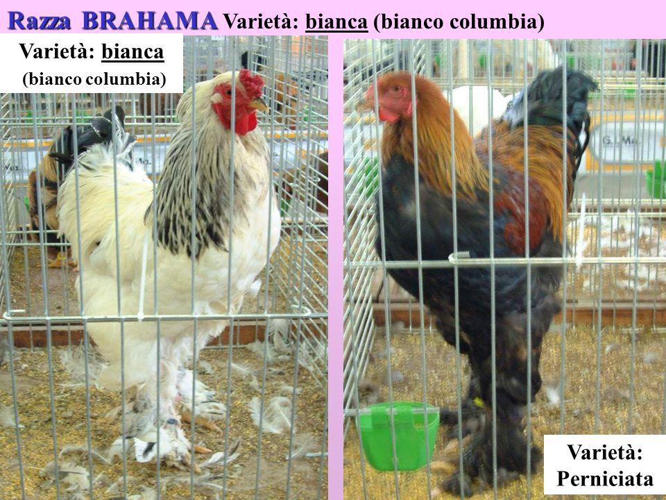 Razza BRAHAMA Varietà: bianca (bianco columbia)