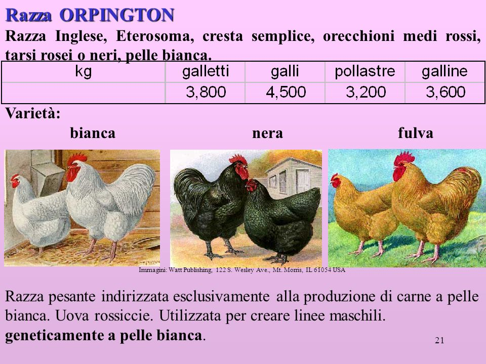 Razza ORPINGTON Razza Inglese, Eterosoma, cresta semplice, orecchioni medi rossi, tarsi rosei o neri, pelle bianca.