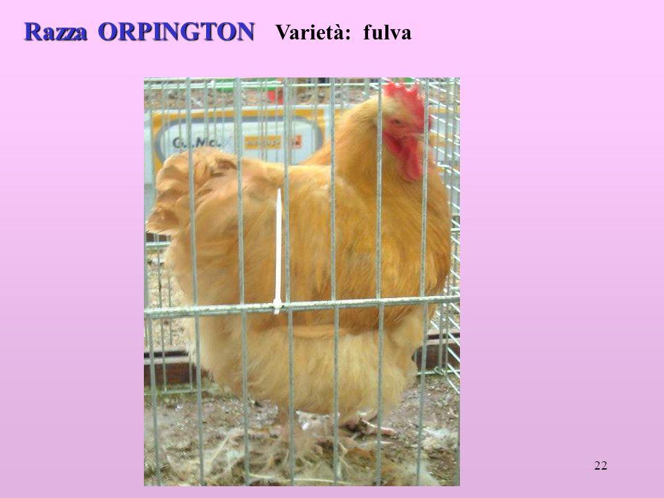 Razza ORPINGTON Varietà: fulva